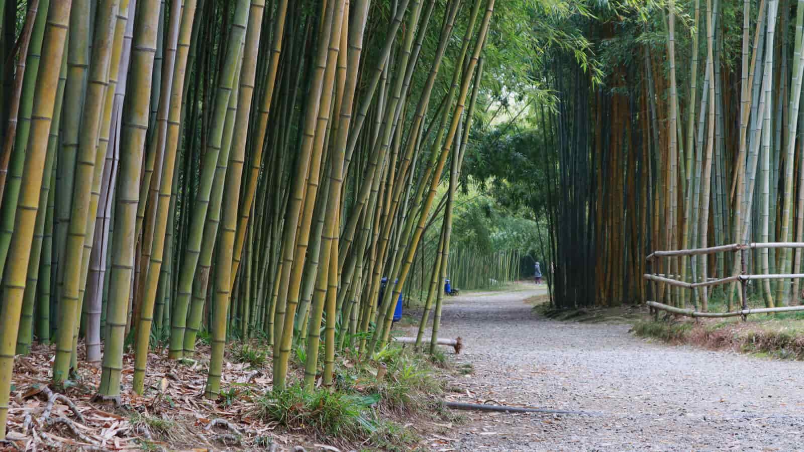 abhaziya-bambuk-botanicheskiy-sad (1)